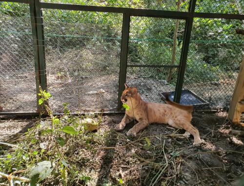 MMAyA toma medidas para proteger y asegurar la vida de un Puma cachorro