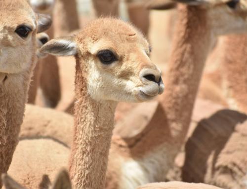 Se dio el inicio a la temporada de aprovechamiento sostenible de la fibra de vicuña 2021 en Apolobamba